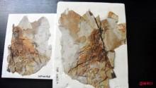 像蝙蝠一样飞翔?中国发现1.6亿年前膜质翅膀恐龙